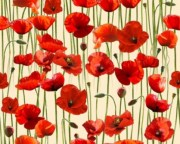 Remembering Poppies on Cream